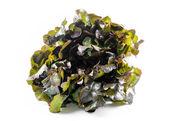 白い背景で隔離されたオークの葉のレタス — ストック写真