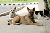 Thai dog — Stock Photo