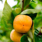 Persimmon tree with fruit in the orchard — Stock Photo