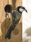 Great tit feeds its cubs — Stock Photo