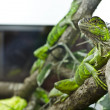 Iguana in aquarium — Stock Photo