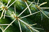 Ferocactus spines — Stock Photo