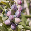 Almost ripe olives — Stock Photo