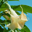 Angel's trumpet, brugmansia arborea  — Stock Photo