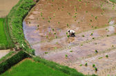 Prosperous work: Farmer planting rice seedlings in his paddy fie — Stock Photo