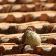 Foto Stock: Fluffy young bird twittering on an old brick roof