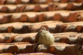 Fluffy young bird twittering on an old brick roof — Stock Photo
