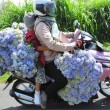 Stock Photo: Load of blue flowers on motorbike, hydrangea