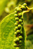 Green peppercorns growing on plantation — Stock Photo