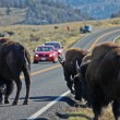 Buffalo in Yellowstone NP — Stock Photo