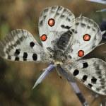 Apollo butterfly (Parnassius apollo) — Stock Photo