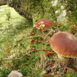 Penny bun (Boletus edulis) in oak forest, Asturias. — Stock Photo