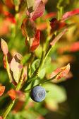 Blueberry (Vaccinium myrtillus) — Stock Photo