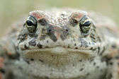 Natterjack toad (Epidalea calamita) — Stock Photo