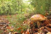 Penny bun (Boletus edulis) in oak forest, Asturias. — Stock Photo