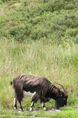 Wild Scottish Goat, Scotland. UK. — Stock Photo