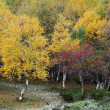 Autumnal Birch in the north of Spain — Stock Photo