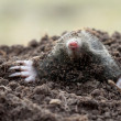 Mole (Talpa europaea) — Stock Photo