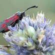 Burnet moth (Zygaena sp) with dew — Stock Photo