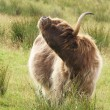 Highland cow scratching itself — Stock Photo