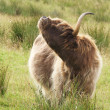 Stockfoto: Highland cow scratching itself