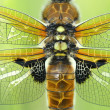 Four-spotted Chaser (Libellulquadrimaculata) wings — Stock Photo #36637747