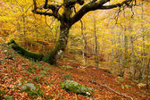 Montegrande beech forest in autumn, Asturias. Spain. — Stock Photo