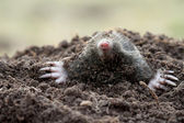Mole (Talpa europaea) — Stock Photo