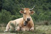 Cow in Asturias, Spain. — Stock Photo