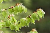 Beech leaves in spring, Asturias, Spain — Stock Photo