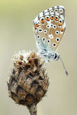 Common blue (Polyommatus icarus) — Stock Photo