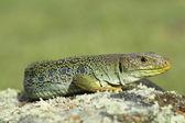 Ocellated lizard (Timon lepidus) — Stock Photo