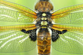 Four-spotted Chaser (Libellula quadrimaculata) wings — Stock Photo