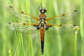 Four-spotted Chaser (Libellula quadrimaculata) — Stock Photo