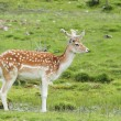 Stock Photo: Fallow deer (Dama dama)