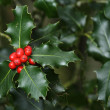Stock Photo: Holly branches with fruits (Ilex aquifolium)