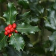 Holly branches with fruits (Ilex aquifolium) — Stockfoto