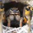 Spider Wolf (Lycosa tarantula) in its hole — Stock Photo