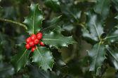 Holly branches with fruits (Ilex aquifolium) — Stock Photo