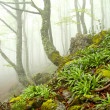 Fog in beech forest in spring, Asturias. Spain. — Stock Photo #37119827