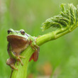 European tree frog (Hyla arborea) on a green plant — Stock Photo