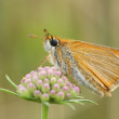 Stock Photo: Skipper butterfly (Thymelicus sp)