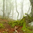 Fog in beech forest in spring, Asturias. Spain. — Stock Photo #37119963