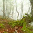 Fog in beech forest in spring, Asturias. Spain. — Stock Photo