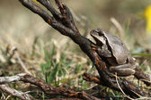 European tree frog (Hyla arborea) brown mutation. — Stock Photo
