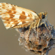 Skipper butterfly (Pyrgus sp) — Stock Photo