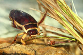 Great diving beetle (Dytiscus marginalis) — Stock Photo