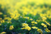 Beautiful Yellow Flowers In Flower Farms — Stock Photo
