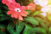 Red Colored Flowers And Green Foliage During Sunset — Stock Photo