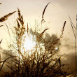 Stock Photo: Wild grass in setting sun.